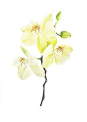 Hand drawn watercolor orchid branch with yellow flowers isolated on white background.