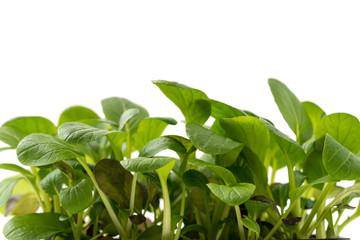Junge Spinatpflanzen
