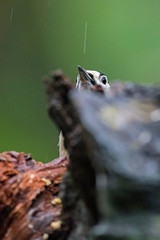 Great spotted woodpecker behind deadwood in rainy forest.