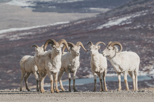 Rams on snowy mountain