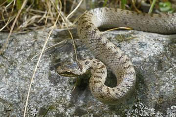 Schlingnatter (Coronella austriaca) - Smooth snake