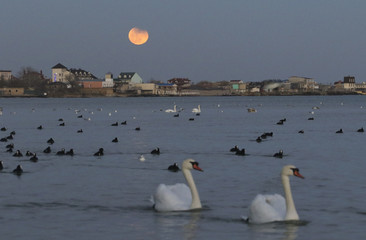 Birds swim in the waters of the Black Sea, with a full moon seen in the background, in Yevpatoriya