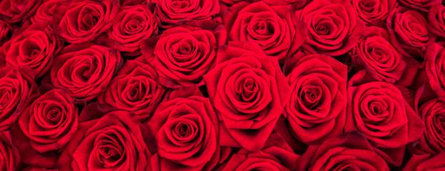 Rote Rosen als Panorama Hintergrund