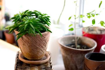 Peperomia ferreyrae in a clay pot as home plant.