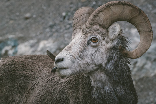 Close up of curious ram