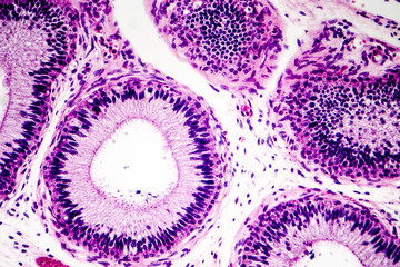 Histology of human epididymis tissue, micrograph. Photo under microscope.