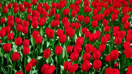 Foto op Canvas Rood traf. fresh spring flowers. Spring Background. Spring. Background