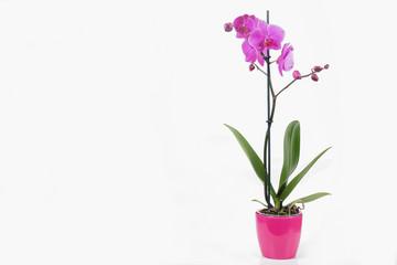 Purple Orchid Phalaenopsis isolated on white background