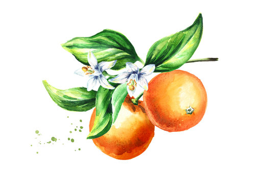 Orange branch with fruits flowers and leaves. Watercolor hand drawn illustration, isolated on white background