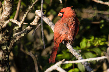 Preening male cardinal perched on a branch in the sunlight