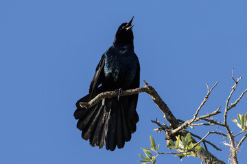 Preening boat-tailed male grackle perched on a branch