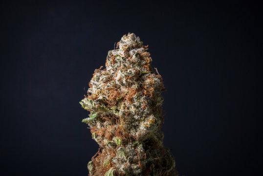 Cannabis Nug - Strain: Blue Widow
