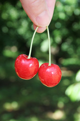 Cherries Right from the Tree
