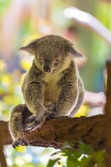 Portrait of koala marsupial native to Australia