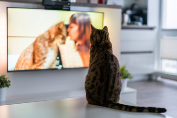 Cute bengal cat watching TV
