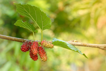 Mulberry fruit with green leaves on tree.