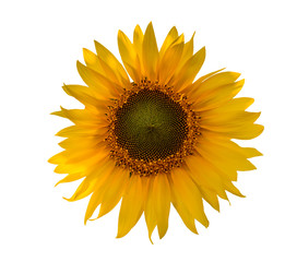 Sunflower close-up isolated on white background.