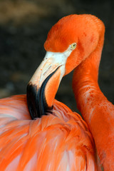 Flamingo Ruffling His Feathers
