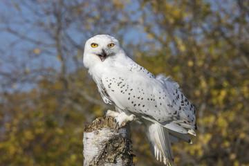 Fototapete - Snowy Owl