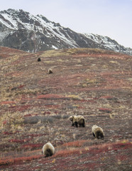 Bears walking on field at Denali National Park and Preserve against sky