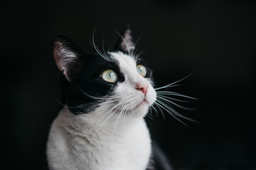 Cute adult cat on a black background
