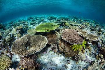 Wall Mural - Reef-Building Corals in Wakatobi National Park