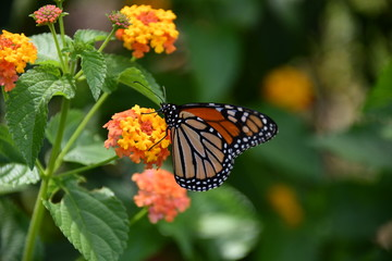 Butterfly,Insect,Nature,Garden,Flower