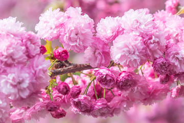 Sakura flower or Cherry blossom in the park,nature background Fotomurales