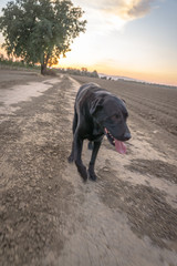black Labrador retriever on farm