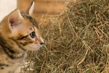 red-haired kitten looks at hay against the backdrop of a peeled wall