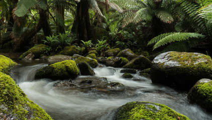 Rainforest stream swirls water between moss covered rocks and overhanging ferns trees in pristine forest.