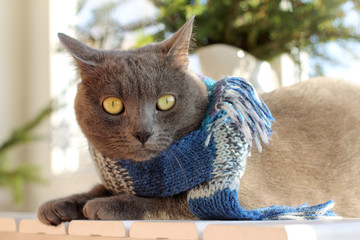 warming the home atmosphere/ gray cat in blue scarf sits on table under tree near the window on a sunny day