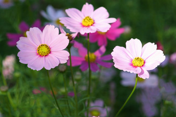 Pink flowers blooming  background, Mexican Aster flower at Chiang Mai Flower Festival,Held in February of each year.