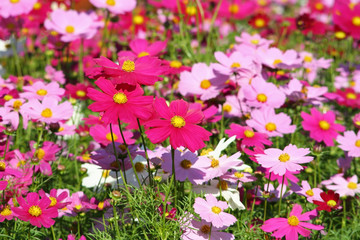 Colorful flowers blooming  background, Mexican Aster flower at Chiang Mai Flower Festival,Held in February of each year.
