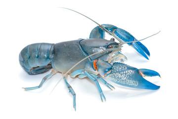 Blue crayfish cherax destructor,Yabbie Crayfish isolate