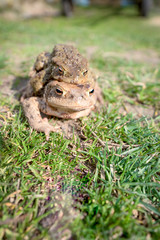 Mating frogs ,toads make love