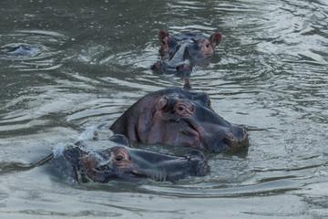 hippos submerged in water in the Maasai Mara