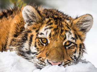 Young Siberian Tiger portrait. Resting on snow he has a very cute face expression.