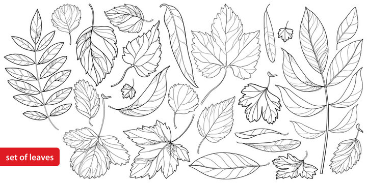 Vector big set #1 with different outline leaves in black isolated on white background. Ornate tree foliage in contour style for season design and coloring book.