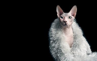 Portrait einer Sphynx-Katze mit silberner Stola.
