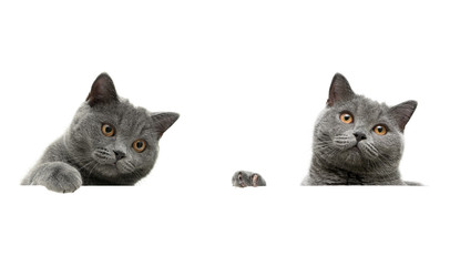 gray cat on a white background sits behind a white banner.