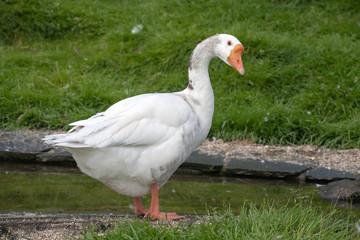 wite goose