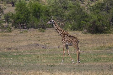 Giraffe on Savana