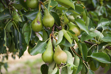 Frische Birnen am Birnenbaum