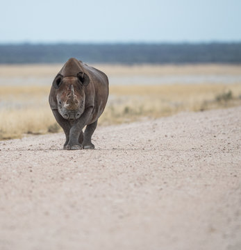 Black Rhino walking in wilderness, Africa