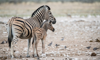 Zebra and foal standing  on landscape