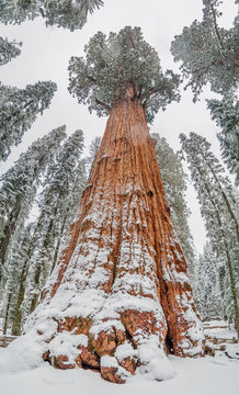General Sherman Tree - Giant Sequoia Tree in Sequoia National Park , USA