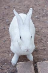 White Rabbit select focus blurry background,Beautifull white Rabbit soft focus