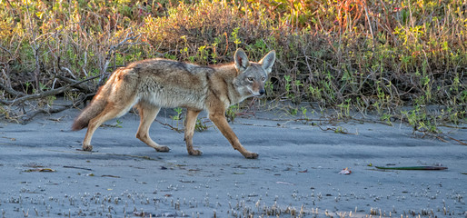 coyote on the sand