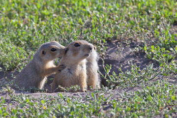 fluffy cute gophers sitting in a meadow